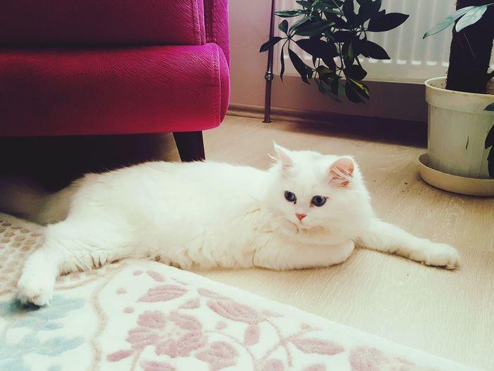 Cat Pamuk 🐈❤