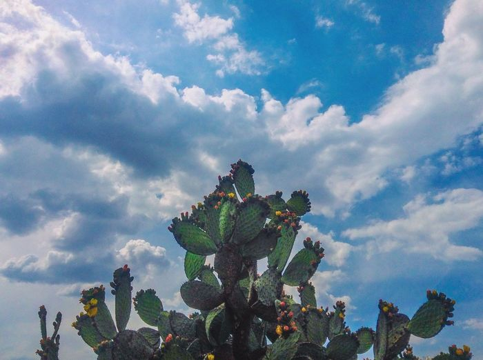 The Great Outdoors - 2017 EyeEm Awards Cloud - Sky Sky Growth Nature Day Low Angle View Cactus No People Outdoors Plant Beauty In Nature Green Color Flower Prickly Pear Cactus Freshness 100 Days Of Summer