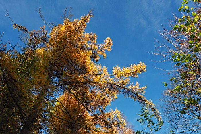 •yellowgreenblue• Tree Low Angle View Nature Sky Growth Beauty In Nature Autumn No People Blue Branch Outdoors Tadaa Community Tranquility Change Clear Sky Day Scenics Tranquil Scene Close-up
