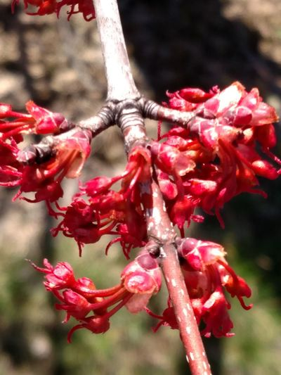 Tree Branches Tree Blooms Spring Has Arrived Spring Is Coming  Spring Has Sprung Tree Buds Tree_collection  TreePorn Treetastic Nature Photography Nature_collection Red Leaves Blooming Tree Ladyphotographerofthemonth