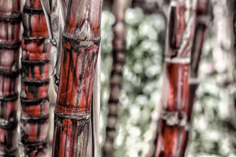 Sugarcane Agriculture Cana de açúcar Nature Nature Textures Nature photography Plant Plants Sugar Textured Textures and Surfaces Cana De Açúcar Agriculture Cana De Açúcar Nature Nature Textures Nature Photography Plant Plants Sugar Textured  Close-up Food Foodphotography Garden Garden Photography Macro Nature Nature_collection Naturelovers Plantation Stout Sugarcane Sugarcane Field Sugarcanejuice Tropical