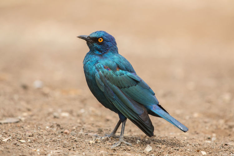 Glossy Starling (Lamprotornis nitens), Kruger Park, South Africa Beautiful Bird Photography Colored Kruger Park Lamprotornis South Africa Wildlife & Nature Wildlife Photography Wonderful Africa Azure Beauty In Nature Bird Bird Watching Birds Blue Colorful Glossy Glossy Starling Kruger Krüger National Park  Nature Nitens Starling Wildlife