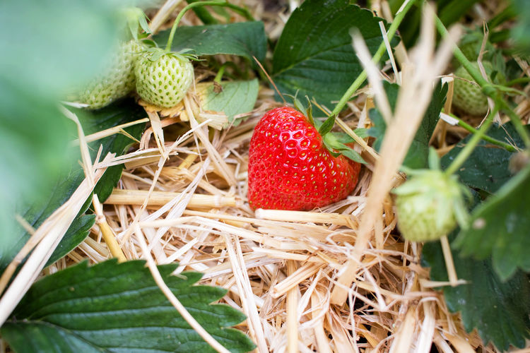 Close-up of strawberry and leaves