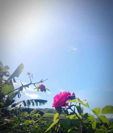 Low angle view of pink flowers against sky