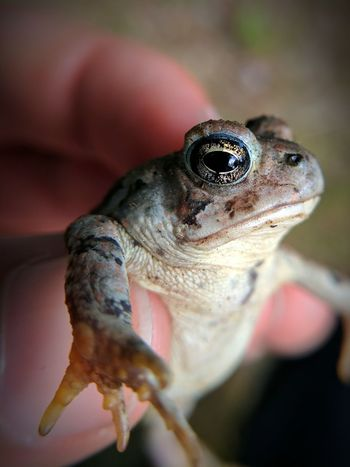 One Animal Animal Wildlife Animal Reptile Animals In The Wild Day Animal Themes Human Body Part Outdoors Nature Living Organism Close-up Human Hand Adult One Person People Macro Photography Nature Summer Beauty In Nature Animals In The Wild Toad Fowlers Toad