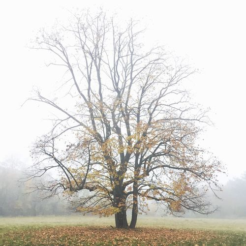 Lonely tree in the mist IPSFall