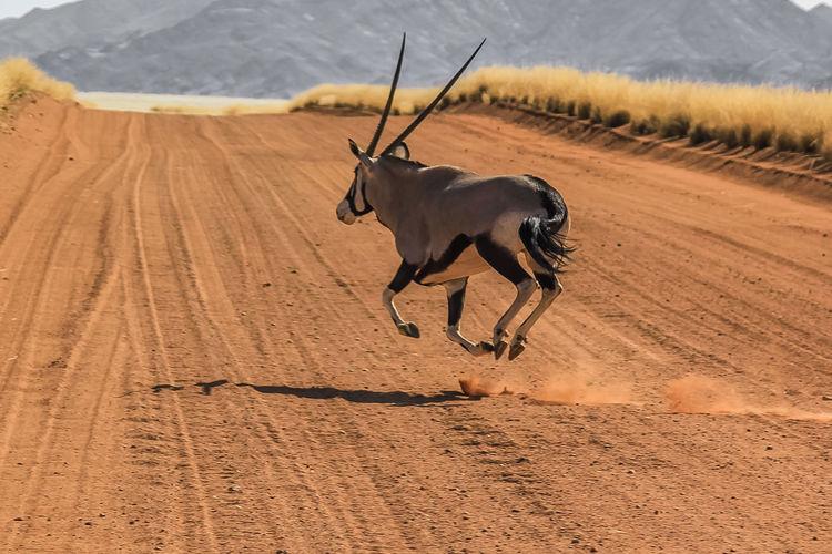 Antelope on sand