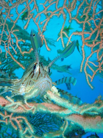 Firefish in sea fan Animal Themes Animals In The Wild Beauty In Nature Close-up Firefish No People One Animal Sea Sea Fan Underwater Water Ägypten Red Sea