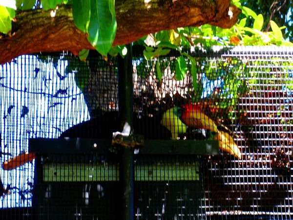 Bird Photography Birds Of EyeEm  Birds_collection Birds Animal Wildlife Honolulu Zoo Toucans Multi Colored Caged Birds