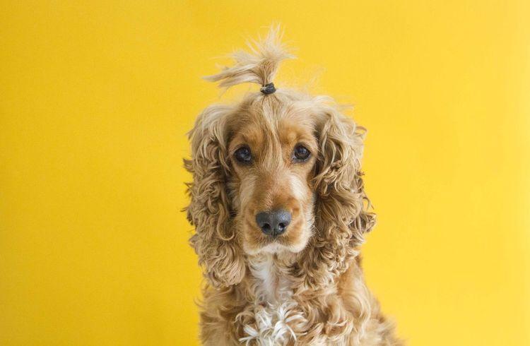 Dog Yellow Hair Spaniel Fun Bright Market Bestsellers September 2016 Bestsellers Fresh On Market 2018