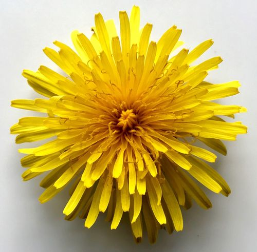 Paint The Town Yellow Flower Yellow Petal Fragility Freshness Flower Head Studio Shot White Background Beauty In Nature Close-up Nature No People Plant Day Dandelion