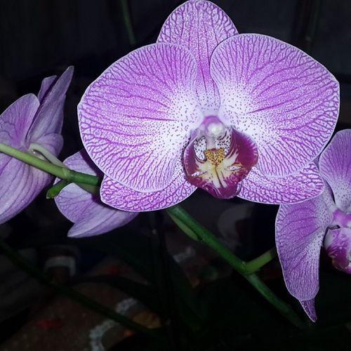 Орхидеи цветут