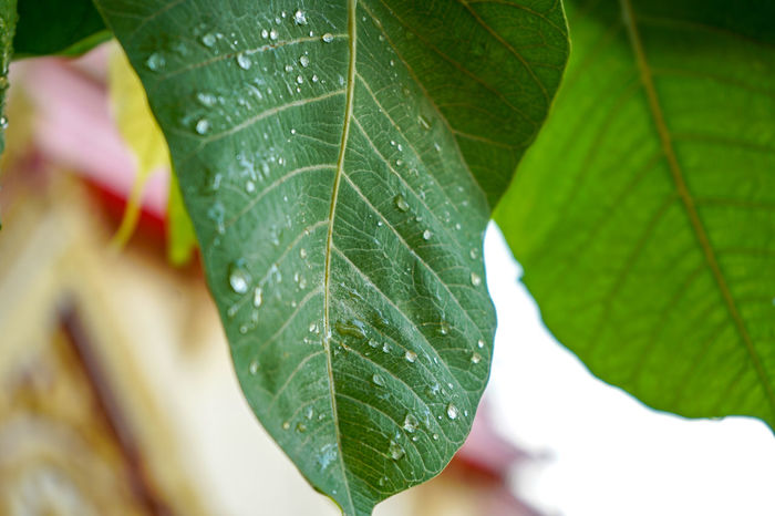Bodhi Tree Bodhitree Beauty In Nature Bodhi Leaf Bodhisattva Close-up Day Focus On Foreground Freshness Green Color Growth Leaf Leaf Vein Leaves Nature No People Outdoors Plant Plant Part Selective Focus