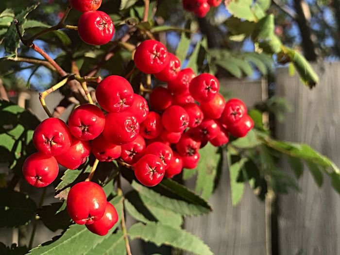 Summer Summer Berries Fruit Red Growth Focus On Foreground Fruit Food And Drink Day Outdoors Food Nature Close-up Freshness No People Beauty In Nature Branch