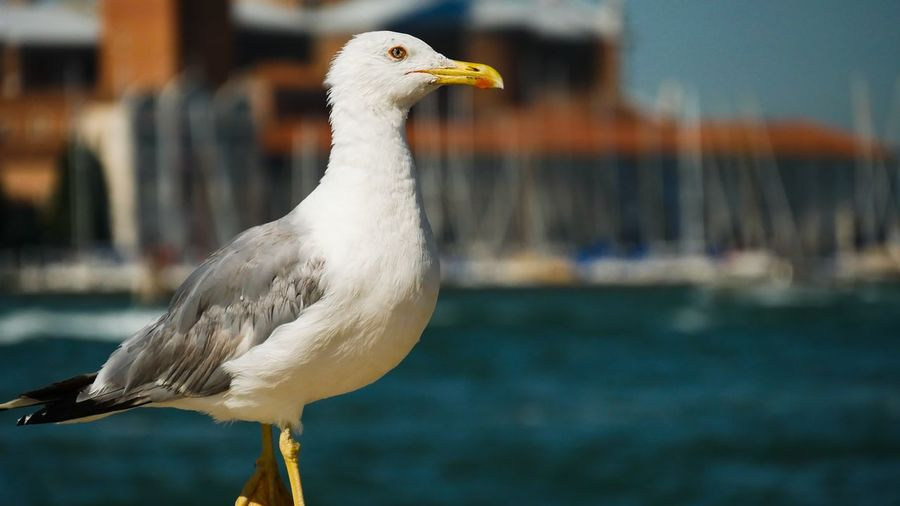Coast Canal De Grande Summer Summertime Venedig Venice, Italy EyeEm Selects Bird Water Sea Close-up Sea Bird Swimming Animal Water Bird Duck Feather