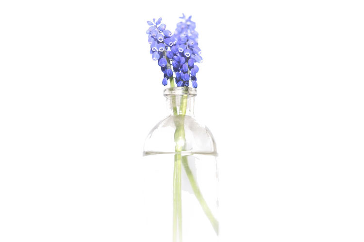 Close-up of purple flower in vase against white background