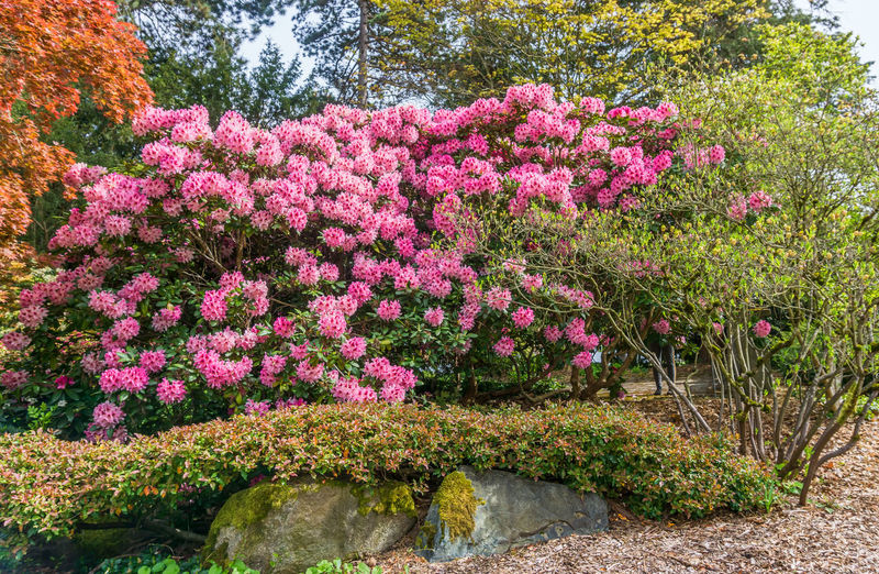 High angle view of pink flowering plants in garden