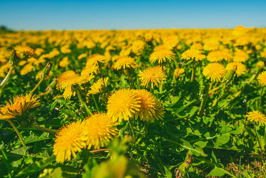 Dandelion field Beauty In Nature Dandelion Field Day Field Flower Flower Head Flowering Plant Fragility Freshness Growth Inflorescence Land Landscape Nature No People Outdoors Petal Plant Sky Tranquility Vulnerability  Yellow