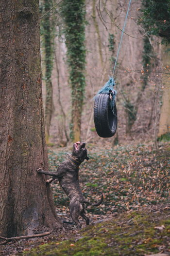 Dog and the swinging tyre Dog Rope Swing Tyre American Pit Bull Terrier Canine WoodLand Forest Tree Hanging Forest Branch