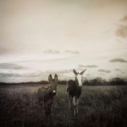 Donkeys ,
