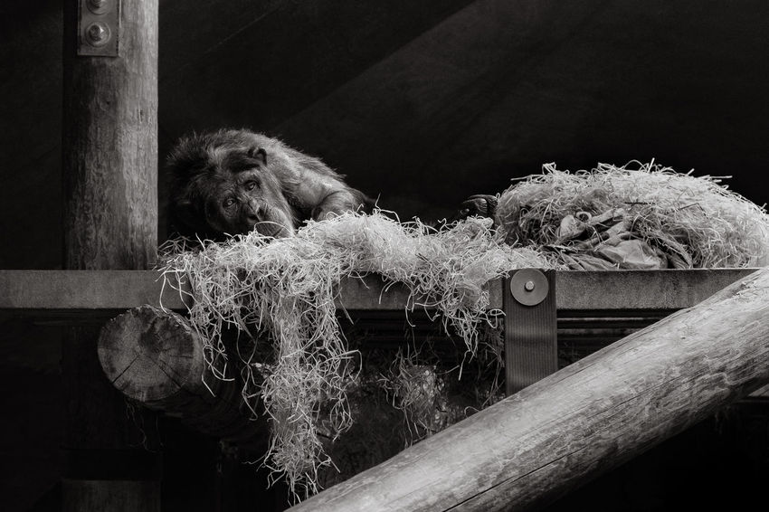 Only managed a few shots Monkeys Animal Themes Captive Animals Captivity Captivity Of A Wild Best Close-up Day Indoors  Mammal Monkey Nature No People One Animal Orangutan