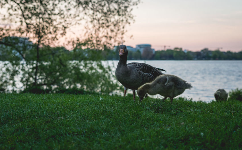 Goose at the Alster. Alster Hamburg Animal Themes Animal Wildlife Animals In The Wild Beauty In Nature Bird Black Swan Day Goose Gosling Grass Greylag Goose Lake Nature No People Outdoors Sunset Swan Water Water Bird Young Animal Young Bird