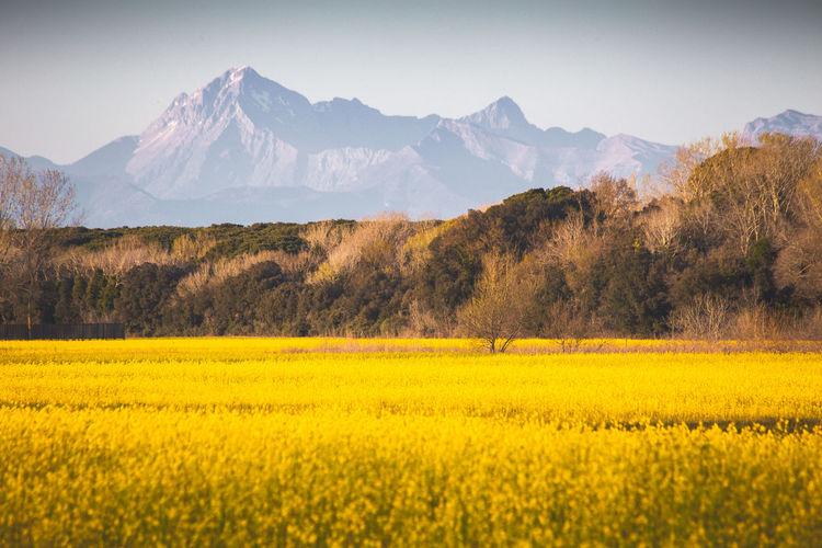 Yellow flowers field in spring season