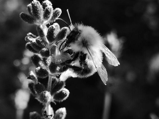 ▫️ Bumblebee and lavender▫️ Blackandwhite Bnw_collection Bumblebee Lavender First Eyeem Photo EyeEm Selects Eyemphotography EyEmNewHere Eyemnaturelover Bnw_friday_eyeemchallenge Bnw_insects Beauty In Nature Flower Head Flower Softness Close-up Plant