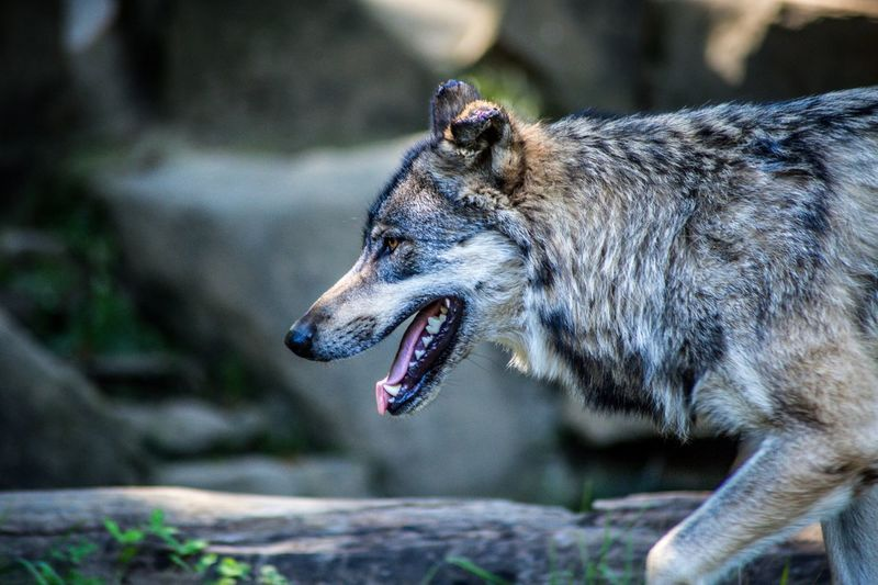 Meet Wolf in Pyrennées Wolf One Animal Animal Animal Themes Animals In The Wild Vertebrate Mammal Animal Wildlife Mouth Open Animal Body Part Canine No People Animal Head