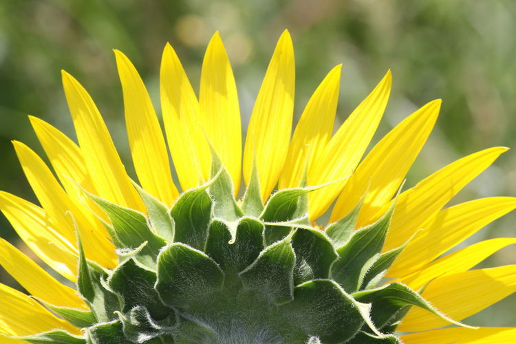 Close-up of sunflower on plant