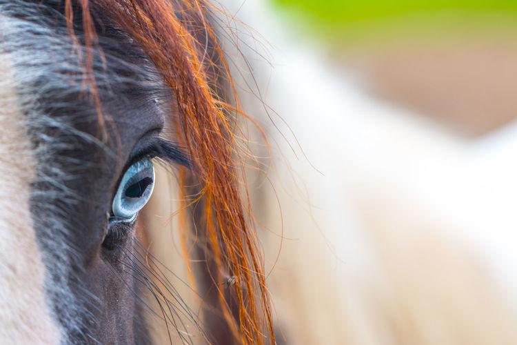 Close-Up Of Blue Eyed Horse