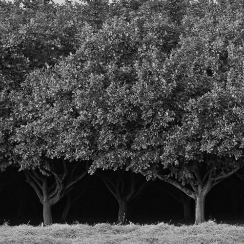 Dark orchard near McMinnville Oregon. Willamette Valley. Black & White Farm Orchards Tree Trunk Tree Trunks Agricultural Field Beauty In Nature Black And White Blackandwhite darkness and light Day Field Forest Growth Land No People Orchard Outdoors Shadows Tranquility Tree Tree Trucnks