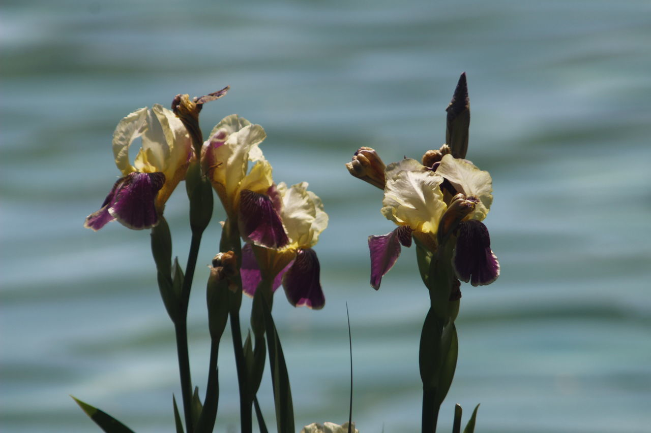 flower, petal, nature, fragility, beauty in nature, freshness, flower head, water, focus on foreground, growth, plant, no people, close-up, day, outdoors, blooming, iris - plant