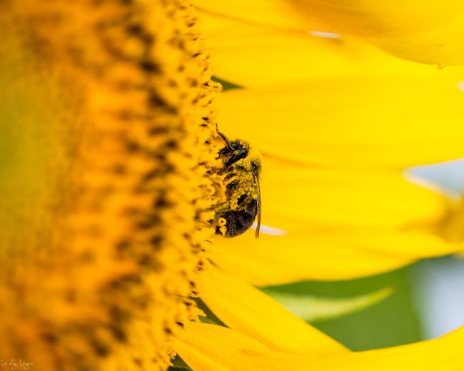 Work Sunflower Pollen Bee Flower Yellow Flowering Plant Beauty In Nature Plant Fragility Insect Animal Themes Animal Animal Wildlife Petal Vulnerability  Freshness Growth Flower Head Close-up Nature