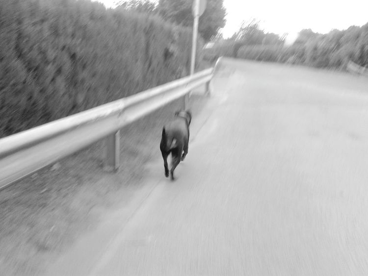EyeEm Dog Lover Dogwalk Hunderunde In Germany Dog❤ My Rottweiler Unterwegsunddraußen MonochromePhotography Monochrome Photography My Dog My Dog Is Cooler Than Your Kid. Welcome To Black Black And White Friday