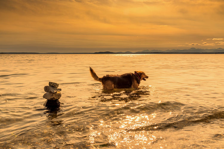 Older German shepherd mixed breed dog enjoying wading in the water under golden sunset sky. Adoption Walking Around Age Animal Themes Beach Beauty In Nature Cairn Day Dog Domestic Animals Elder German Shepherd Golden Hour Joy Mammal Nature Old One Animal Outdoors Pets Scenics Sea Sky Sunset Water Pet Portraits