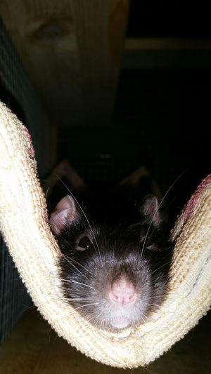Skyppi 💕 Animal Rat Rattie Cutie Eyeem X Whitewall: Animals Picoftheday ᴘʜᴏᴛᴏɢʀᴀᴘʜɪᴇ Rats Ratties ʟᴏᴠᴇɪᴛ Ratlover