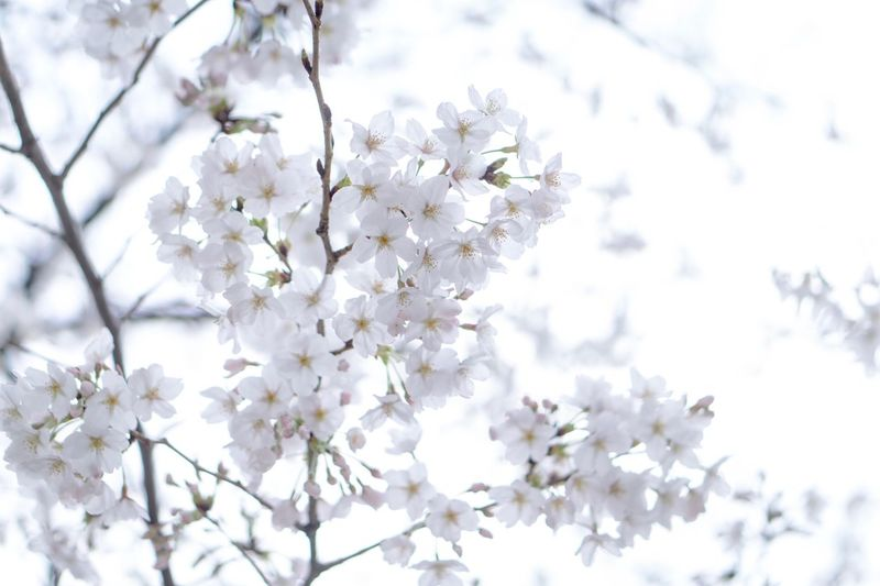 Flower Blossom Branch Springtime Fragility Tree Nature Cherry Blossom