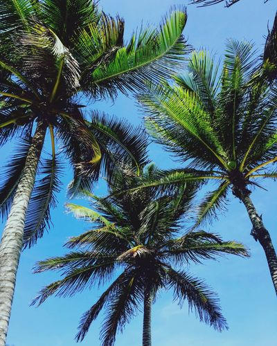 Tulum Palm Tree Tree Nature Sky Beauty In Nature Blue Tropical Climate Tranquility Scenics Clear Sky México