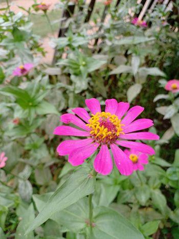 Flower Head Zinnia  Flower Eastern Purple Coneflower Pink Color Petal Springtime Pollen Close-up Blooming