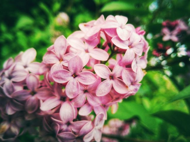 Lilacs Nature Flower Macro Photography Nature Photography Wildflower Flowerporn Lilacs Macroflower Macroflowerphotography