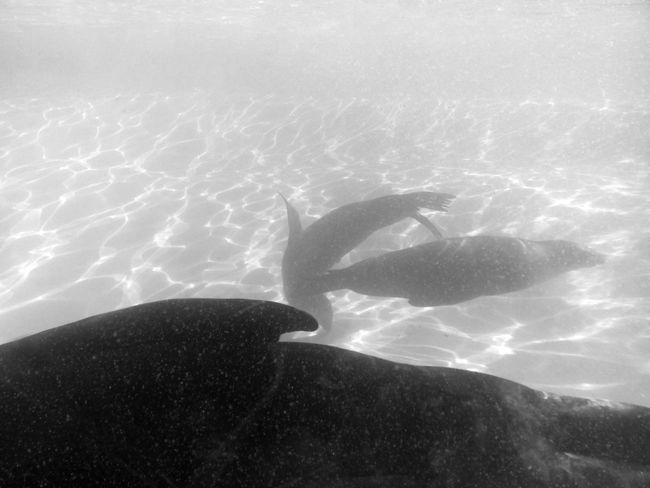 Animal Themes Berlin Berliner Zoo Robben  Seehund Seelöwe Swimming UnderSea Underwater Zoo Animals  Zoo Berlin