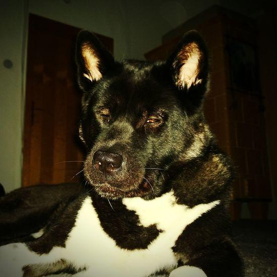 I Love My Dog Dog Wittenberg Ganja Maxima V. Katana Ken