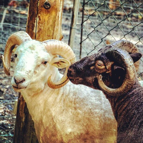 #all_shots #bestoftheday #gang_family #igdaily #igers #igersaddict #ignation #instadaily #instagood #instagram #instagramers #instagramhub #instahub #instamood #instanow #mobilephoto #photography #photooftheday #picoftheday #statigram #webstagram #animals All_shots Instanow Instamood Igerssj Bestoftheday Nikonj1 Gang_family Igers IGDaily Rams Instagramers Instagood Statigram Animals Instagramhub Photography Webstagram Nikon Instadaily Photooftheday Ignation Instagram Instahub Picoftheday Mobilephoto Igersaddict