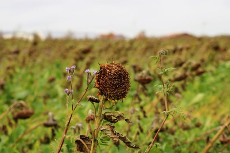 Autumn Field Sunflower Wither Withered Flower Close-up Day Field Flower Flower Head Focus On Foreground Fragility Freshness Grass Growth Nature No People Outdoors Plant Seed Sunflowers Thistle Withered
