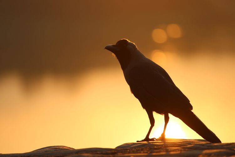 Close-Up Of Crow Perching On Rock During Sunset