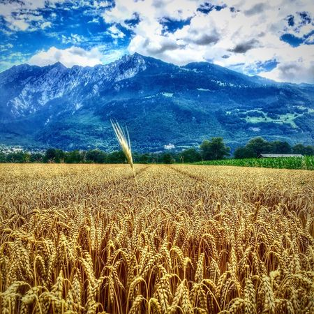 Sommergefühle Kornfeld Field Wearenotalone Crops Crops Field Fringe Cropcircles Nature Sky Cereal Plant Tranquility Tranquil Scene Growth Crop  Beauty In Nature Cloud - Sky Scenics Rural Scene Landscape Day Outdoors No People Ear Of Wheat Wheat Lost In The Landscape Adventures In The City