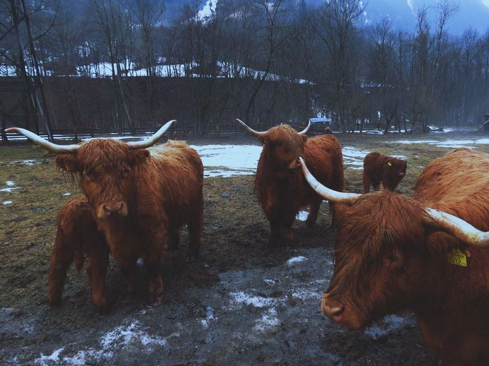 Domestic Animals Animal Themes Mammal Livestock Horned Cattle Tree Herbivorous Standing No People Nature Highland Cattle Sky Outdoors Day EyeEmNewHere