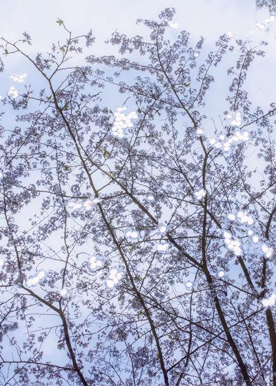 Sakura humid.
