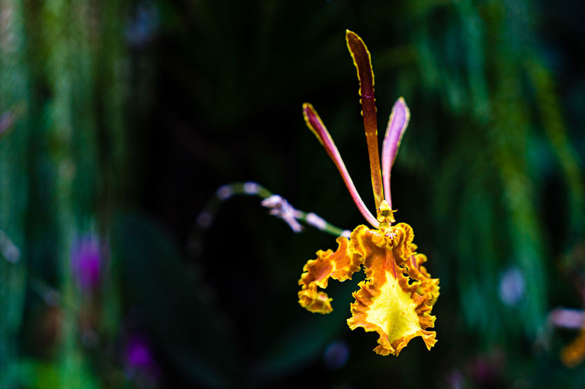 A single delicate brown and yellow orchid in a botanic garden. Beauty In Nature Bloom Blossom Botany Close-up Day Flower Flower Head Focus On Foreground Fragility Freshness Growing Growth In Bloom Nature No People Orange Color Orchid Petal Plant Springtime Tranquility Yellow Color